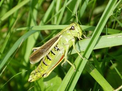 Sumpfschrecke (Stethophyma grossum)